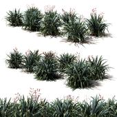 New Zealand Flax - Phormium tenax