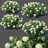 Hydrangea arborescens # 3 Annabelle V2