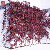 Girlish Grape 2