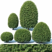 Taxus Baccata # 5 topiary set 1