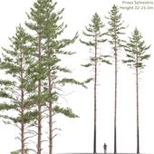 Сосна обыкновенная #11 (22-25.5м)