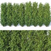 Taxus Baccata # 9. 160cm hedge