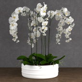 Orchid 6