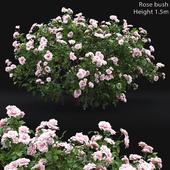 Роза кустарник #4