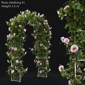 Роза плетистая #1