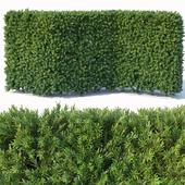 Taxus Baccata # 3 modular hedge 120cm