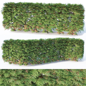 Thuya occidentalis # 4 hedge, H85cm