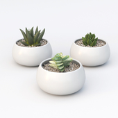 Table succulents