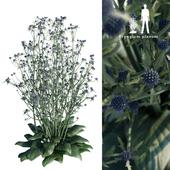 Синеголовник плосколистный   Eryngium planum