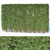 Thuya occidentalis # 5 hedge, H200cm