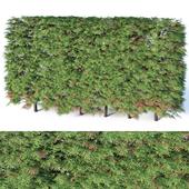 Thuya occidentalis # 6 hedge, H120cm