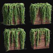 Ivy in tubs. 4 models