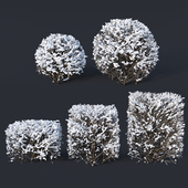 Cotoneaster lucidus # 8 winter cube, sphere hedges