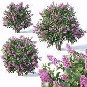 Lilac, Syringa vulgaris # 4. Three sizes