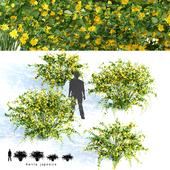 Керрия японская | Kerria japonica
