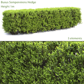 Boxwood Hedge # 2