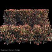 Syzygium Oleinum_Hedge