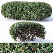Cotoneaster lucidus # 9. Wide customizable hedge