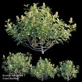 Coast banksia bush