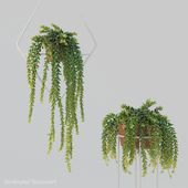 Donleytail | Burrostail succulent hanging