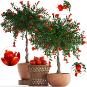Plant Collection 264. Pomegranate