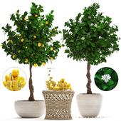 Plant Collection 265. Citrus limon