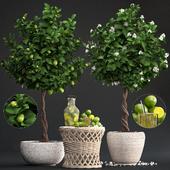 Plant Collection 266. Citrus lime