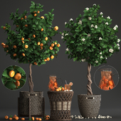 Plant collection 267. Citrus mandarin