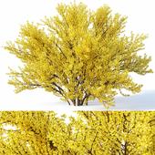 Forsythia # 4 full bloom H220, 260cm