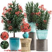 Коллекция растений 270. Nerium oleander