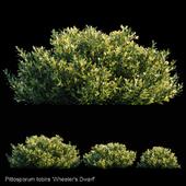 Pittosporum Tobira | Wheeler's Dwarf