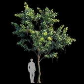 Barringtonia Acutangula Var 2