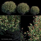 Ilex Crenata_round bush