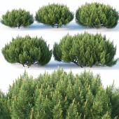 Pinus mugo #1 H50-100 cm