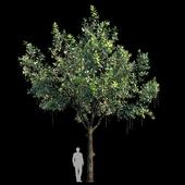 Barringtonia Acutangula Var 3