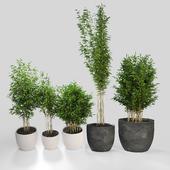 Bambus muriel