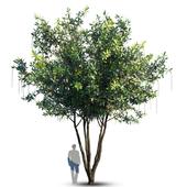 Barringtonia Acutangula Var 4