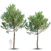 Street tree 4