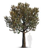Magnolia Grandiflora_mature_2