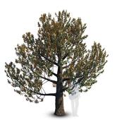 Magnolia Grandiflora_mature_3
