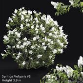 Syringa vulgaris #3