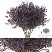 Фундук обыкновенный Сирена мультиштамб | Corylus avellana syrena