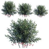 Ardisia crenata bush