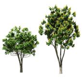 Tree peltoforum krylatoplodny. 2 models