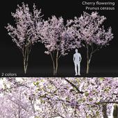 Prunus cerasus | Cherry flowering #3