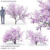 Prunus tomentosa | Cherry flowering bush #1