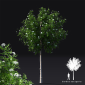 Rowan tree   Sorbus aucuparia rowan