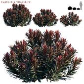 Euphorbia Blackbird | Cushion Spurge