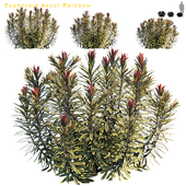 Euphorbia Ascot Rainbow | Cushion Spurge