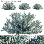Euphorbia Blue Haze | Cushion Spurge